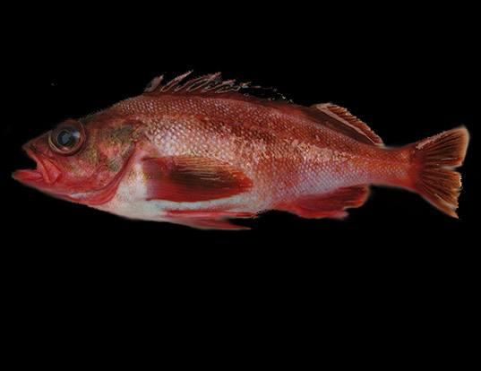 Picture of a harlequin rockfish (Sebastes variegatus)