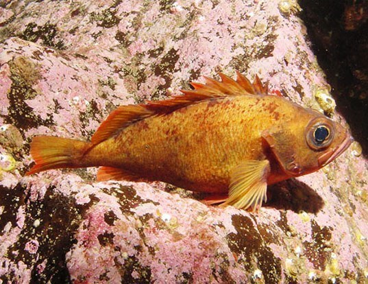 Picture of a norway haddock (Sebastes viviparus)