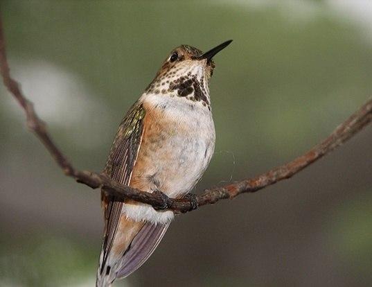 Picture of a calliope hummingbird (Selasphorus calliope)