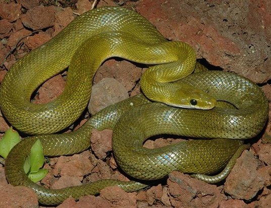 Picture of a green rat snake (Senticolis triaspis)