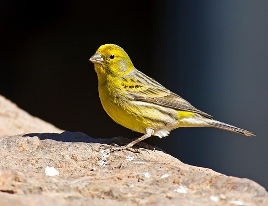 Picture of a island canary (Serinus canaria)