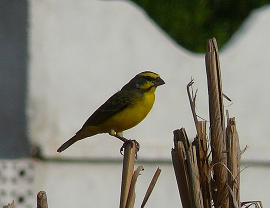 Picture of a yellow-fronted canary (Serinus mozambicus)