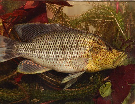 Picture of a thinface cichlid (Serranochromis angusticeps)