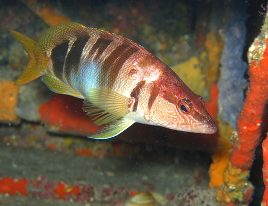 Picture of a painted comber (Serranus scriba)