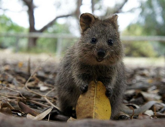 Picture of a quokka (Setonix brachyurus)