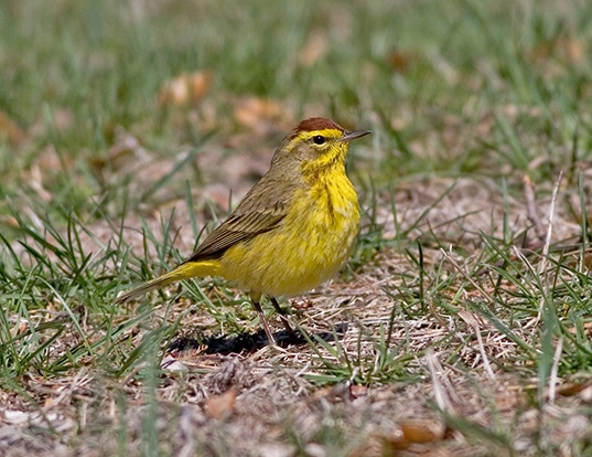 Picture of a yellow palm warbler (Setophaga palmarum hypochrysea)
