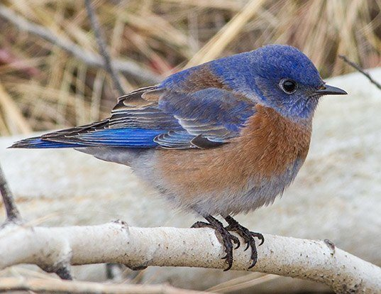 Picture of a western bluebird (Sialia mexicana)