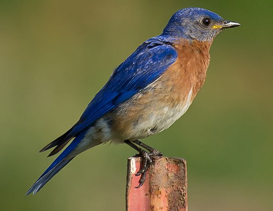 Picture of a eastern bluebird (Sialia sialis)