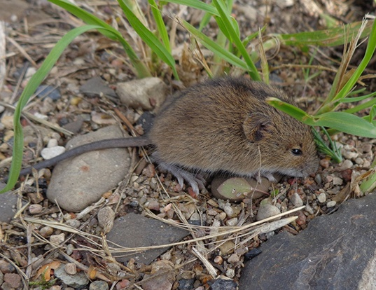 Picture of a northern birch mouse (Sicista betulina)