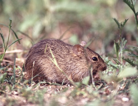 Picture of a tawny-bellied cotton rat (Sigmodon fulviventer)