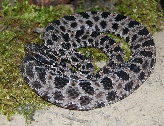 Picture of a dusky pygmy rattlesnake (Sistrurus miliarius barbouri)