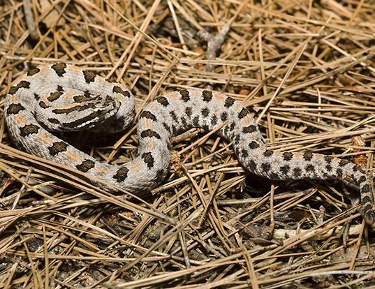 Picture of a western pygmy rattlesnake (Sistrurus miliarius streckeri)