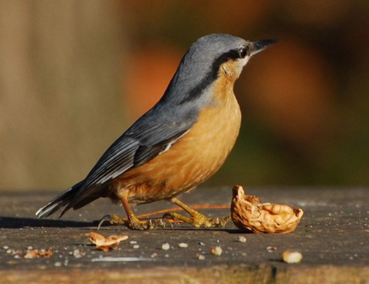 Picture of a wood nuthatch or eurasian nuthatch (Sitta europaea)