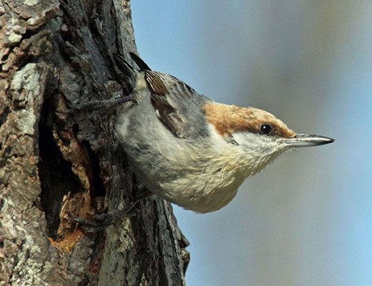 Picture of a brown-headed nuthatch (Sitta pusilla)