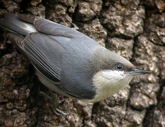 Picture of a pygmy nuthatch (Sitta pygmaea)