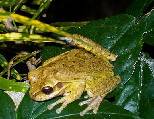 Picture of a mexican treefrog (Smilisca baudinii)