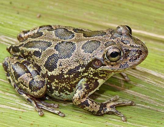 Picture of a lowland burrowing treefrog (Smilisca fodiens)
