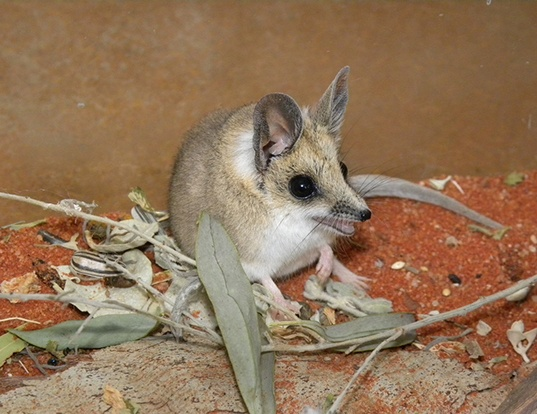 Picture of a fat-tailed dunnart (Sminthopsis crassicaudata)