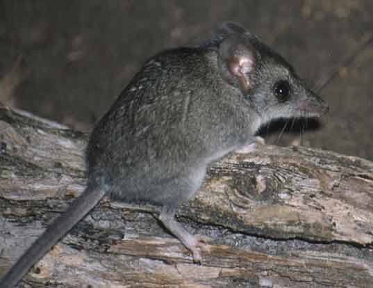 Picture of a gray-bellied dunnart (Sminthopsis griseoventer)