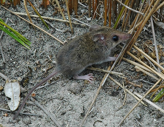 Picture of a white-footed dunnart (Sminthopsis leucopus)