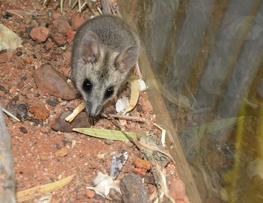 Picture of a stripe-faced dunnart (Sminthopsis macroura)