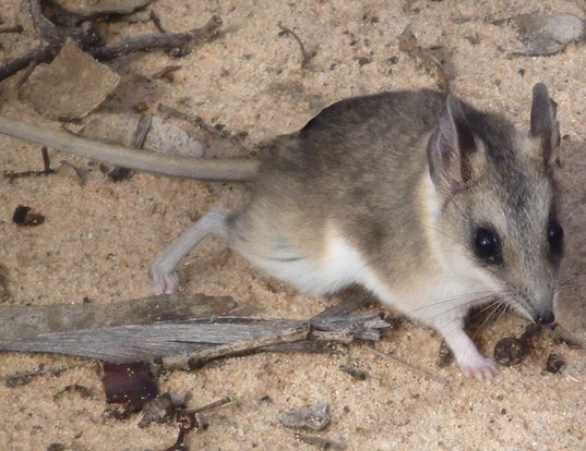 Picture of a sandhill dunnart (Sminthopsis psammophila)