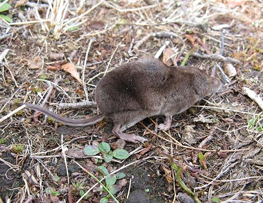 Picture of a alpine shrew (Sorex alpinus)