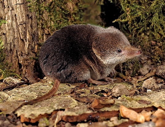 Picture of a eurasian shrew (Sorex araneus)