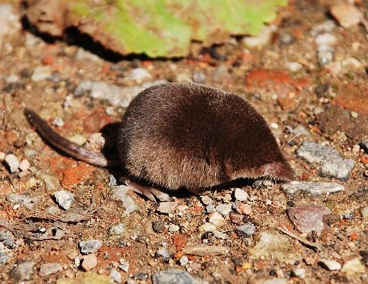 Picture of a arctic shrew (Sorex arcticus)