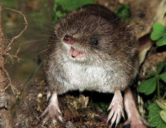Picture of a laxmann's shrew (Sorex caecutiens)