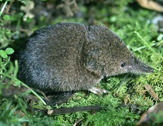 Picture of a masked shrew (Sorex cinereus)