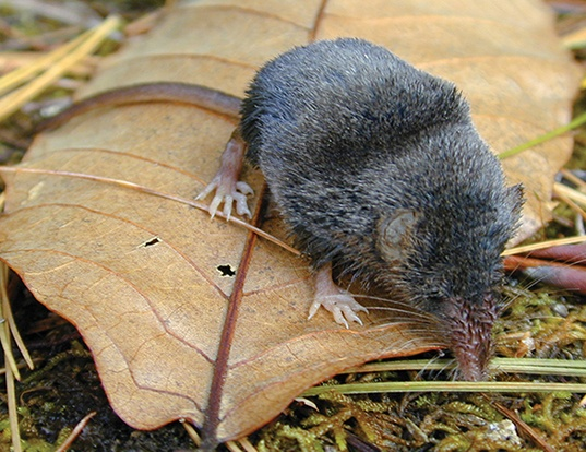 Picture of a smoky shrew (Sorex fumeus)