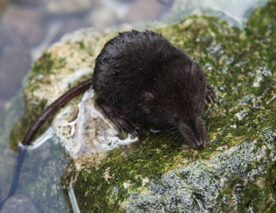 Picture of a american water shrew (Sorex palustris)