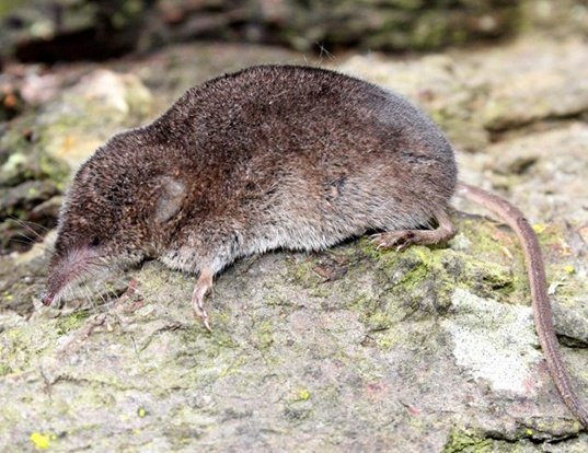 Picture of a trowbridge's shrew (Sorex trowbridgii)