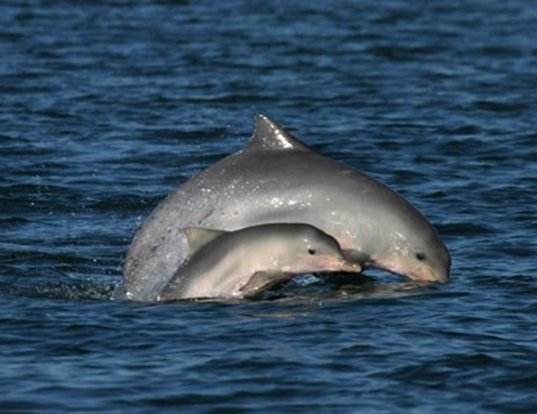 Picture of a guianian river dolphin (Sotalia fluviatilis)