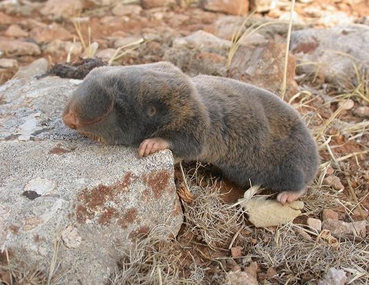 Picture of a palestine mole rat (Spalax ehrenbergi)
