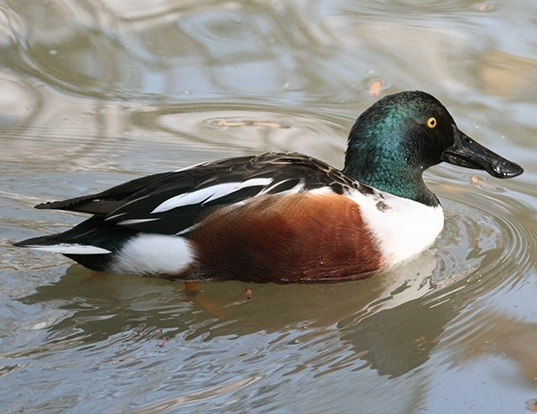 Picture of a northern shoveler (Spatula clypeata)