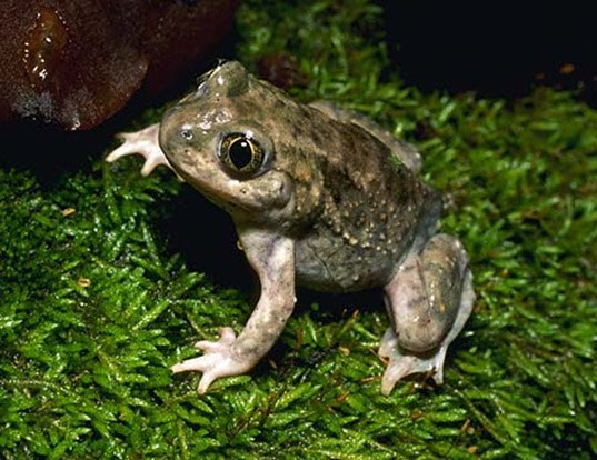 Picture of a plains spadefoot (Spea bombifrons)