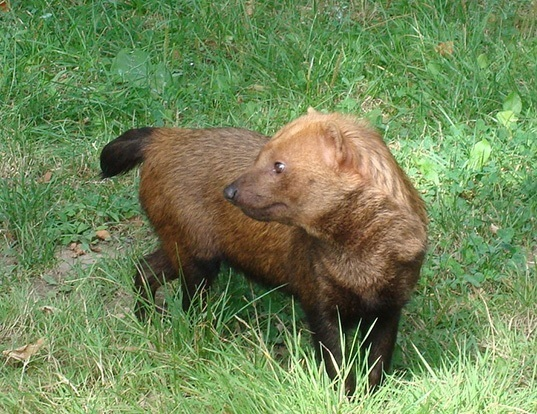 Picture of a bush dog (Speothos venaticus)