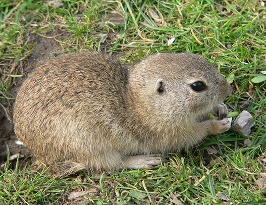 Picture of a european ground squirrel (Spermophilus citellus)