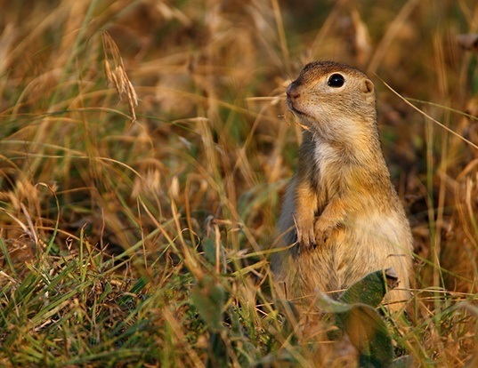 Picture of a little ground squirrel (Spermophilus pygmaeus)