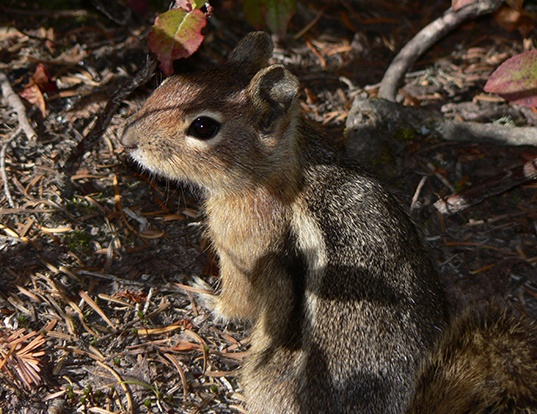 Picture of a cascade golden-mantled ground squirrel (Spermophilus saturatus)