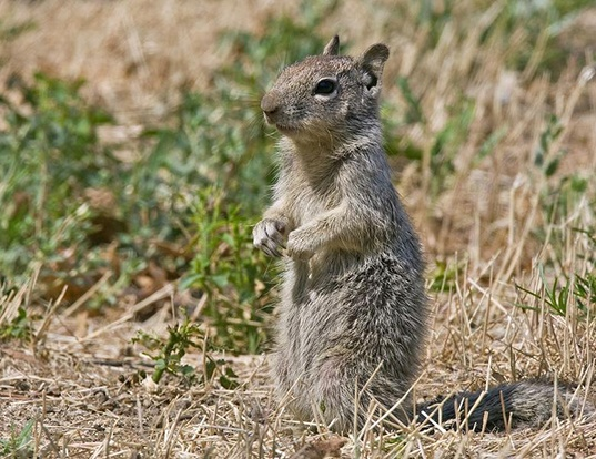 Picture of a townsend's ground squirrel (Spermophilus townsendii)