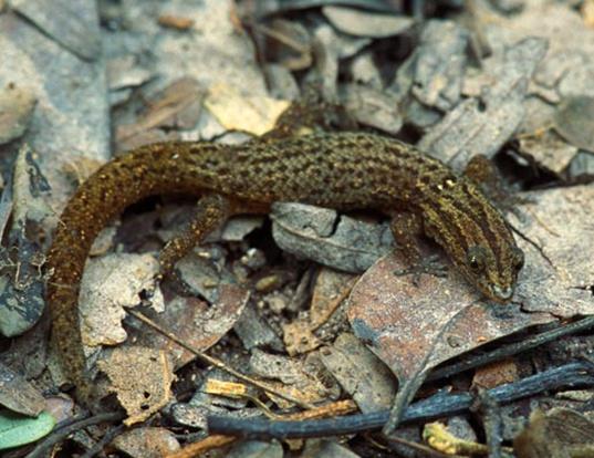 Picture of a florida reef gecko (Sphaerodactylus notatus notatus)