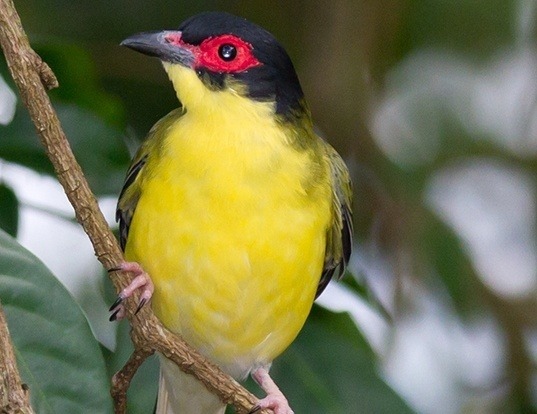 Picture of a green figbird (Sphecotheres viridis)