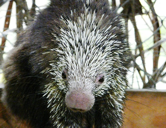 Picture of a mexican hairy dwarf porcupine (Sphiggurus mexicanus)