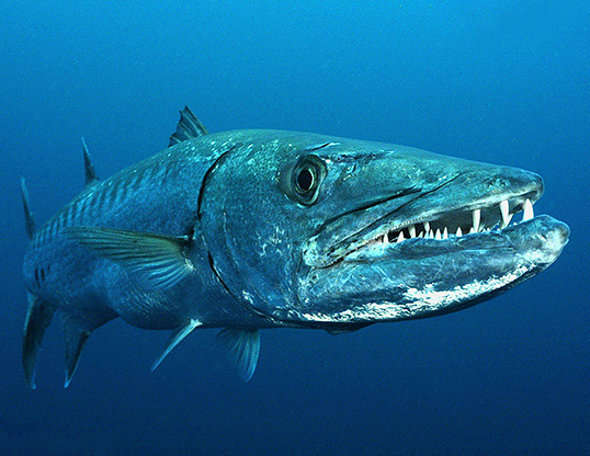 Picture of a great barracuda (Sphyraena barracuda)