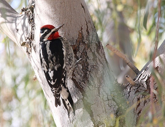 Picture of a red-naped sapsucker (Sphyrapicus nuchalis)