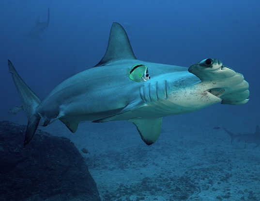 Picture of a scalloped hammerhead (Sphyrna lewini)