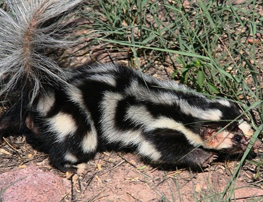 Picture of a eastern spotted skunk (Spilogale putorius)